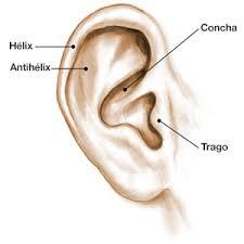 anatomia de la oreja